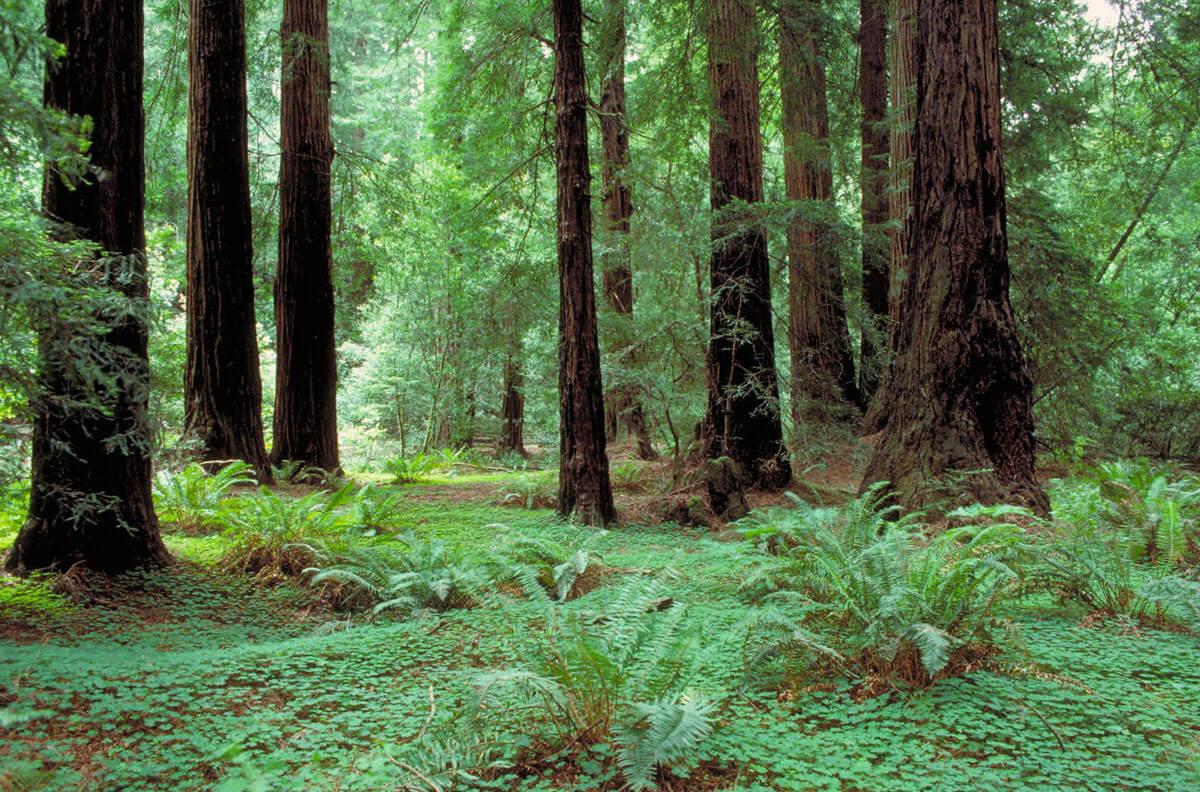 Muirredwoods